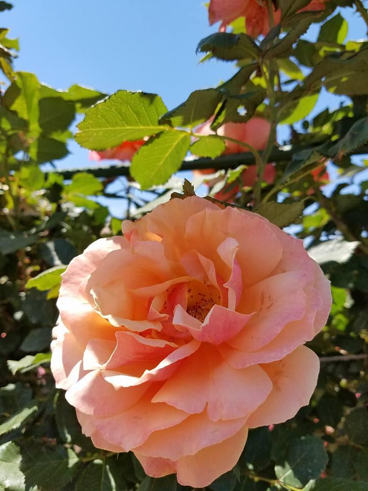 roze17